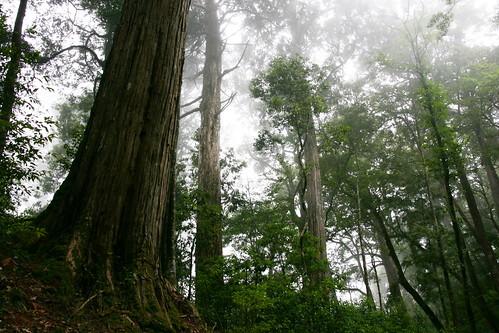 2-1 大雪山與棲蘭的霧林海拔類似,森林形象卻大不相同(圖片攝影:徐嘉君)