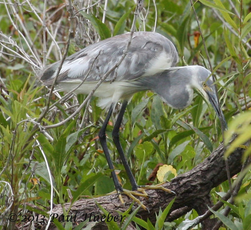 usa bird animal florida wildlife aves hybrid lakecounty snowyegret tricoloredheron egrettatricolor egrettathula emeraldamarsh ebird