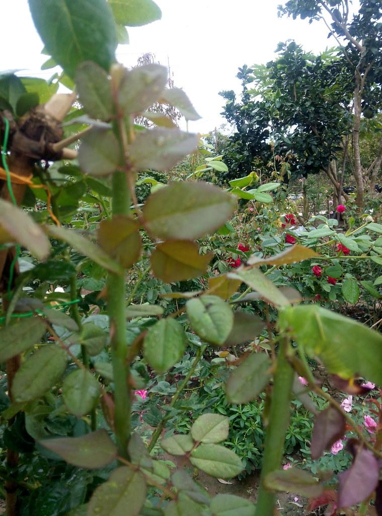 con trung can pha hoa hong (2)