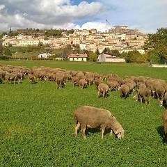 Se non scoppiano oggi non scoppiano più #pecore #ovini #gregge #navelli #laquila #abruzzo #italy