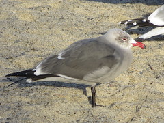 Heermann's Gull (Adult)