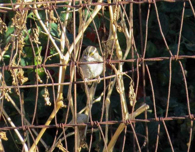 White-throated Sparrow in Orange, Canon POWERSHOT SX50 HS