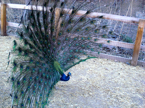 Project 365:83/365 - Peacock