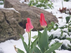 Early tulips, late snow