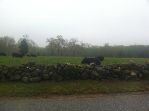 Fog, cows, stone wall