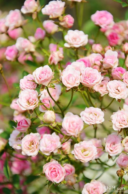 玫瑰園。迷你薰衣草03.jpg