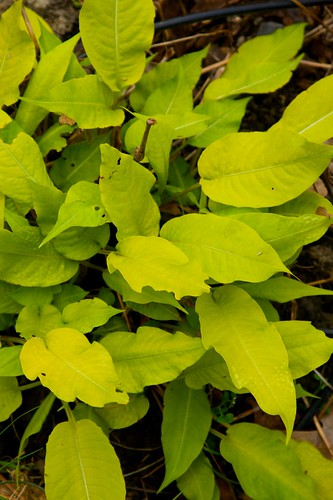 persicaria golden arrow  1424