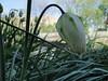 77-21apr12_4049_Botanical_garden_tulip