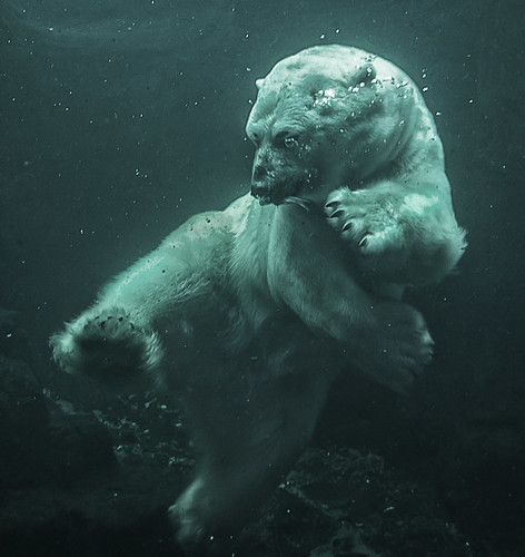 Kung Fu Polar Bear by MattStallone@gmail.com