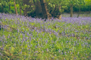 Bluebell Wood Easton 7