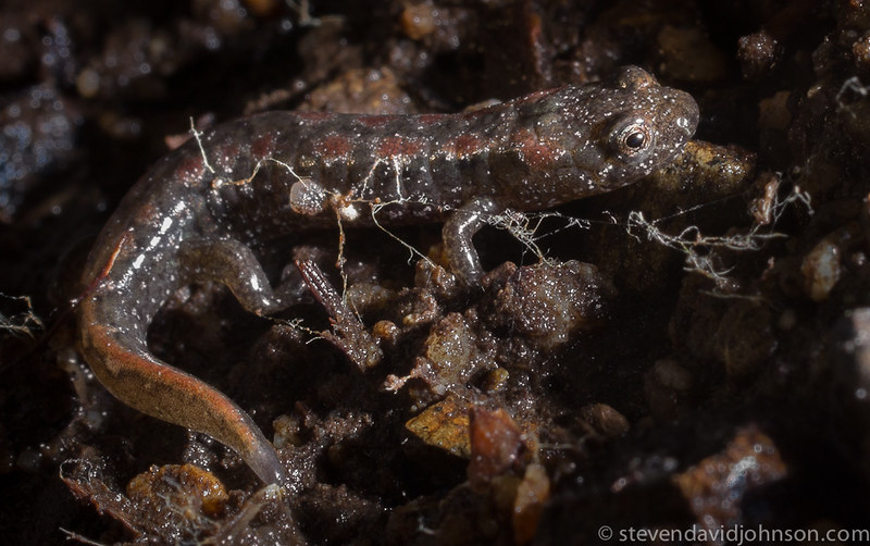 juvenile Northern dusky salamander, Fridley's Gap, Virginia
