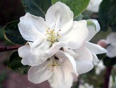 Blossom tree 2012.