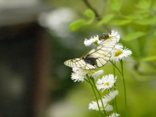 蝶とハナムグリ