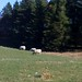 Small photo of Ewe's grazing