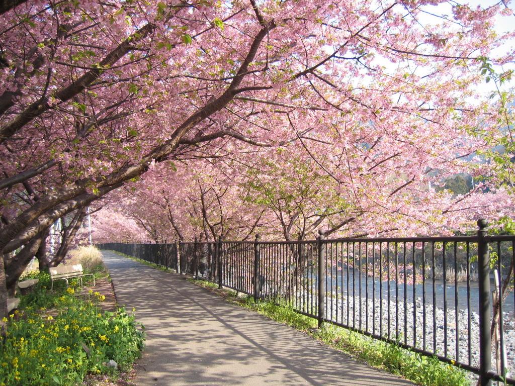 Foto Foto Pemandangan Bunga Sakura Jepang 6 Sakura ʃƪ