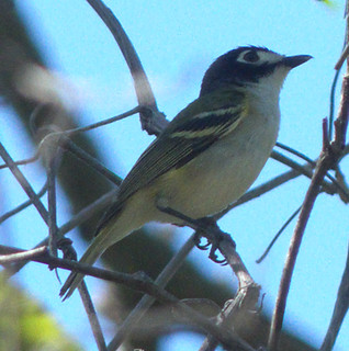 P1050144_188 Black-capped Vireo