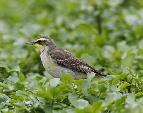 Green-headed Yellow Wagtail