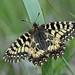 Zerynthia polyxena (Southern Festoon, zuidelijke pijpbloemvlinder) by Rob Blanken