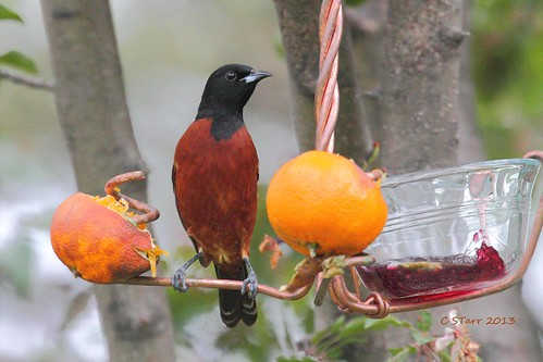 034 male orchard oriole