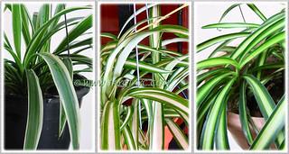 Variegated cultivars of Chlorophytum comosum, namely 'Variegatum', 'Vittatum' and 'Streaker'
