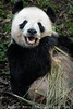 Happy Panda by Bob Koss