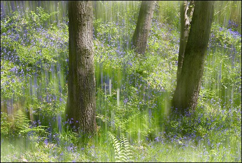 Bluebell Impression No 1 by geospace