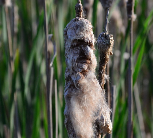 Old Man Cattail by paynehollow