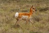 Female Northern Pronghorn Antelope