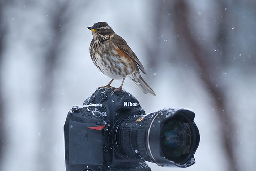 Redwing (Turdus iliacus) and Nikon
