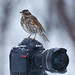 Redwing (Turdus iliacus) and Nikon by Gudmann