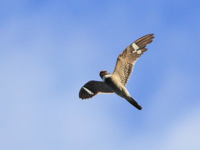 Common Nighthawk 2-20130607