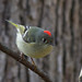 Ruby Crowned Kinglet by ramseybuckeye