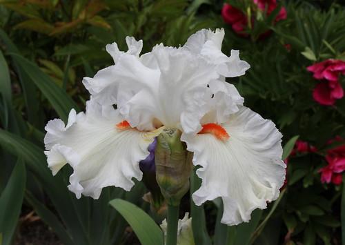 Iris 'Nordica'