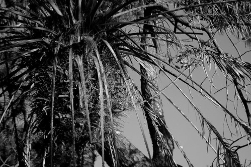 IMG 1746.bw Palm Tree Shower