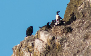 Common Murres on Nest