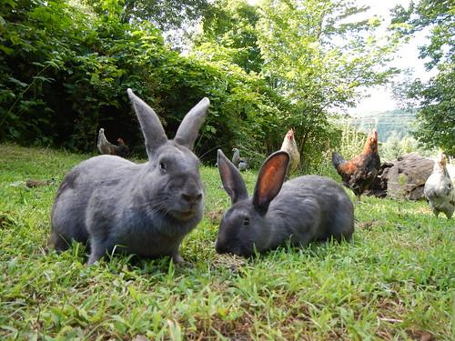 Free range bunnies