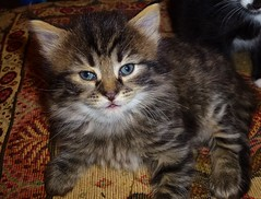 domestic long-haired cat, animal, maine coon, kitten, tabby cat, small to medium-sized cats, pet, pixie-bob, fauna, siberian, cat, carnivoran, whiskers, norwegian forest cat, manx, domestic short-haired cat,