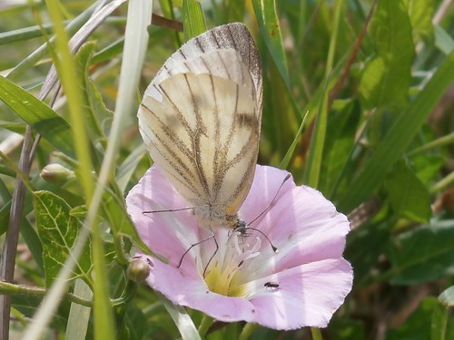 Green-veined White, Pieris napi, female, on Field Bindweed, Convolvulus arvensis, Worcestershire 08-13