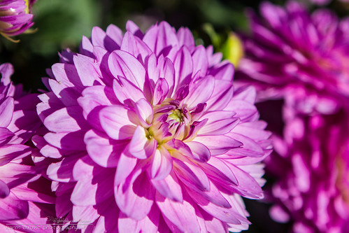 20130907_Dahlias_IMG_6667_KCP by KarenCookePhotography