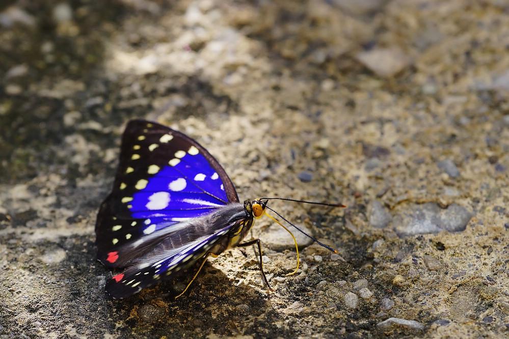紫蛺蝶屬大紫蛺蝶-2