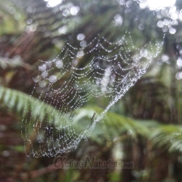 spider 0000 Ka-hau-a-Le'a tree fern trail, Hawaii, USA