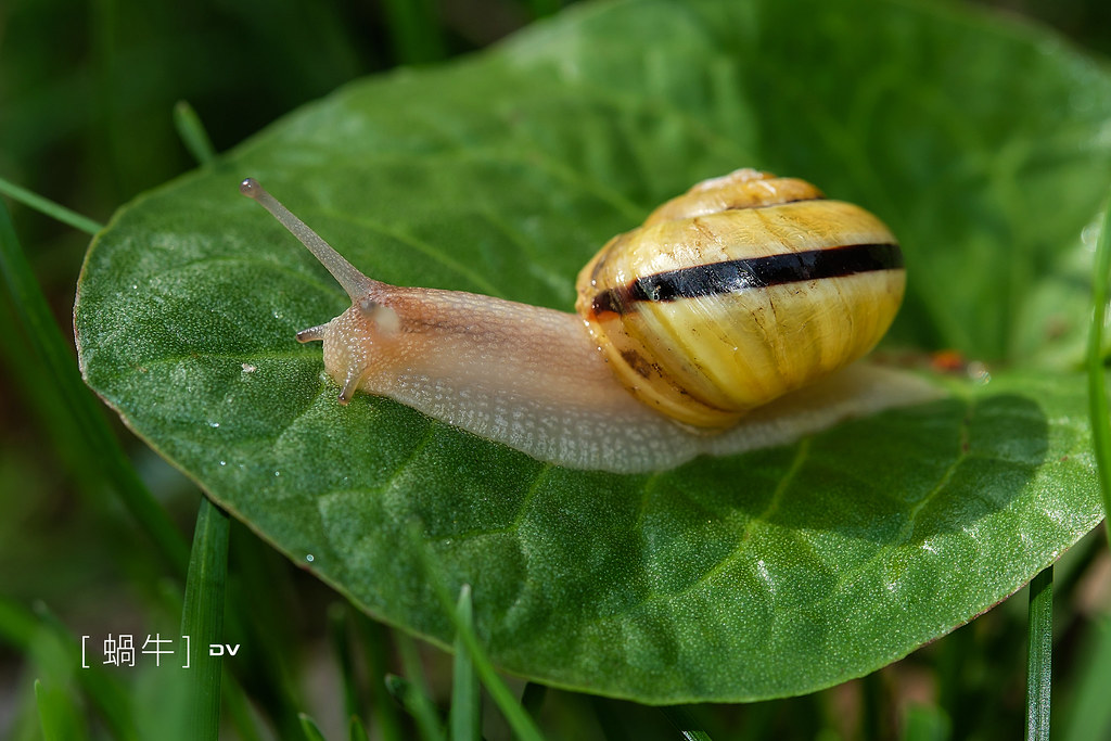 ►►►2015 Snail 蝸牛 ● DV ◄◄◄
