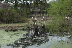 Cypress Wetlands Port Royal SC (40)