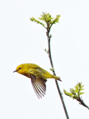 Yellow Warbler in flight 20150414