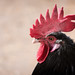 Rooster Comb Profile by Eric Kilby