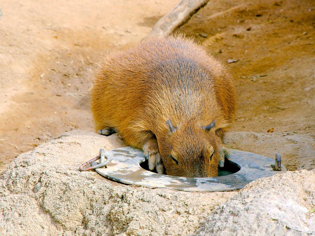 Capybara (Hydrochoerus hydrochaeris)_3