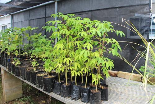 rota nurseries ceiba ceibapentandra bombacaceae