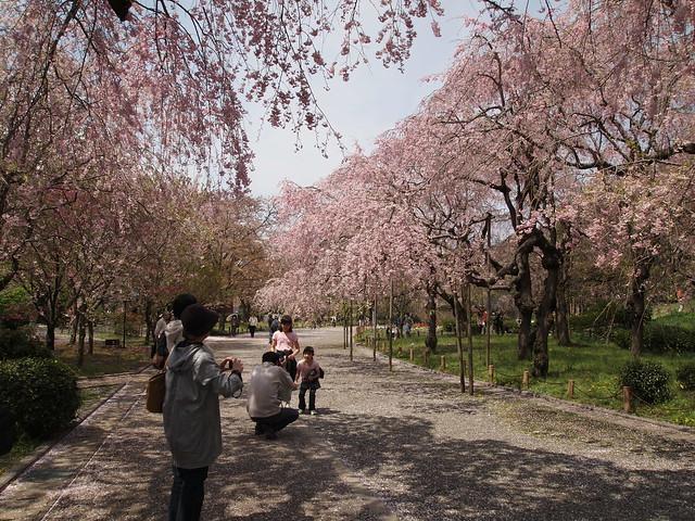 しだれ桜 @ 神代植物公園