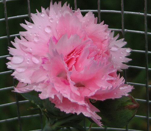"""Dianthus """"Candy Floss."""" by Leenechan"""