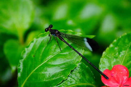 insectos verde méxico dragonfly libélula hidalgo caballitodeldiablo